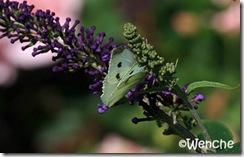 Stor-kålsommerfugl-(2)