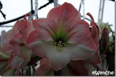 Hippeastrum-Apple-Blossom