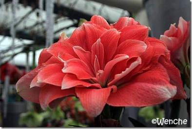 Hippeastrum-Double-Dream