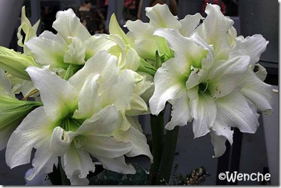 Hippeastrum-Ice-Queen