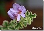 P-crisupum-variegatum