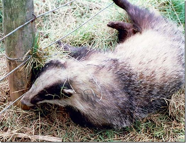 Okay Stop relaxing. It IS a dead badger