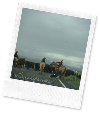 Herding Cows