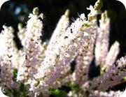 flor de incenso0001