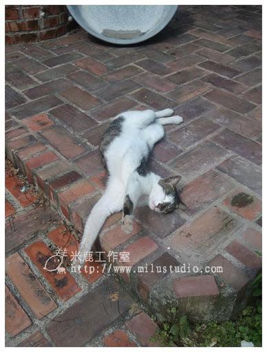 竹南蛇窯的貓