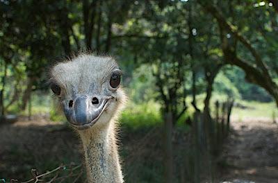 PD Ostrich Show