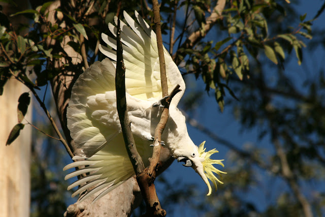 lesser sulfur crested cockatoo