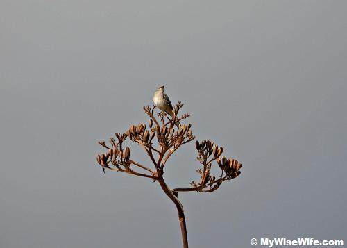 The bird is resting on Century Plant