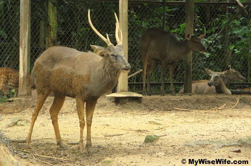 Sambar deer at Mammal Kingdom