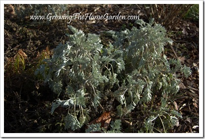 'Powis Castle' Artemisia in January 1-2010-2
