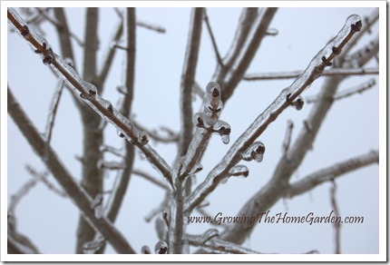 Red maple buds encased in ice 1-2010-1