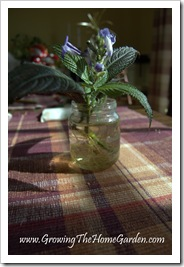 Persian Shield from Cuttings 1-2010-4