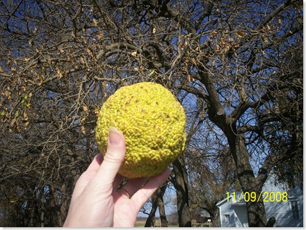 this is a horse apple, fruit of the Bois d'arc tree