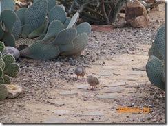 doves in the desert