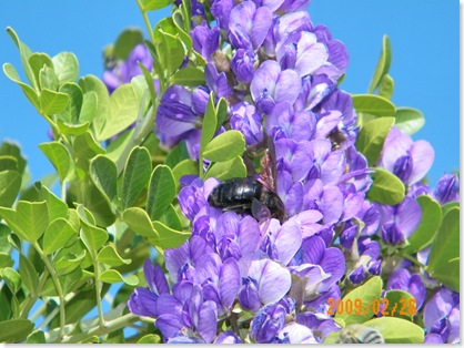 bumble bee in the Texas Mountain Laurel tree blooms