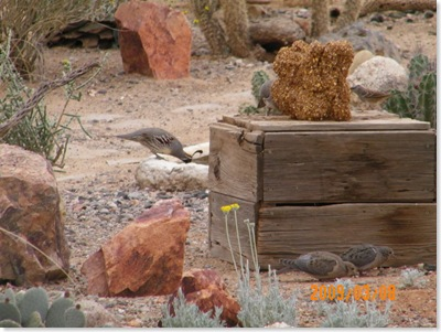 Gambrel quail drinking water