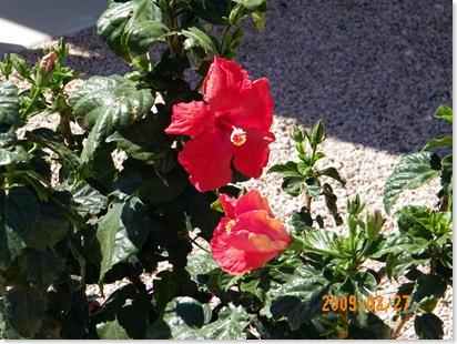 Pat Steele's hibiscus
