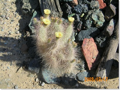 Grizzly Bear cactus