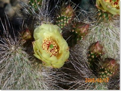 Grizzly Bear cactus rose