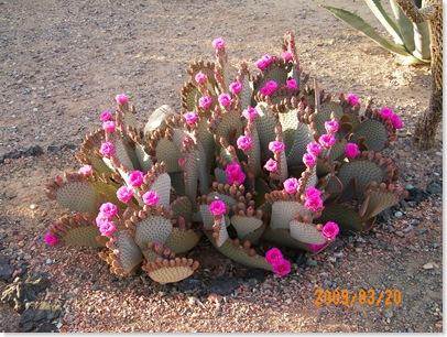 Beaver Tail cactus