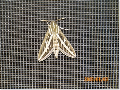 a moth on Thelma's screen door