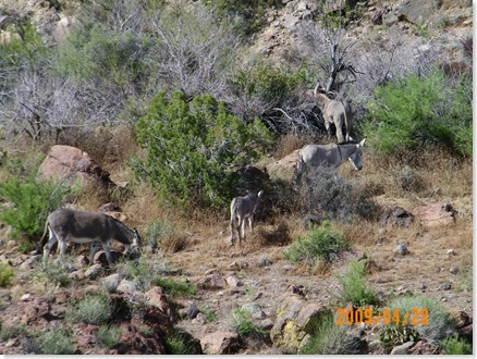 Historic Route  66 to Oatman, AZ to Kingman, AZ - wild donkeys