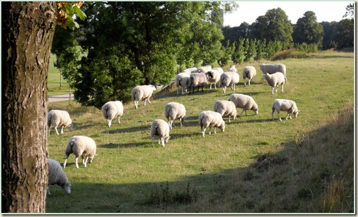 Bagvendte får