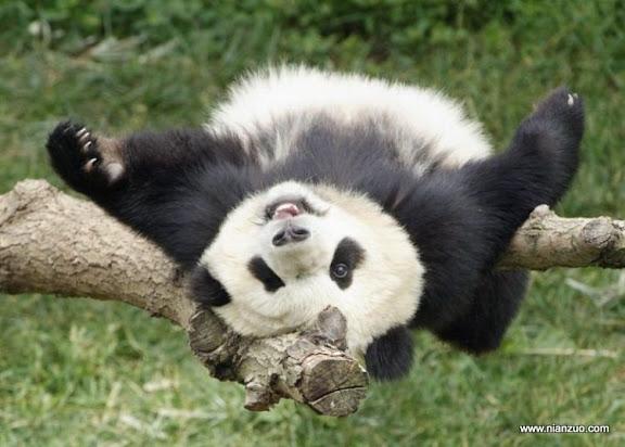 可爱的动物 熊猫,你除了有点包办婚姻一切都太幸福了。