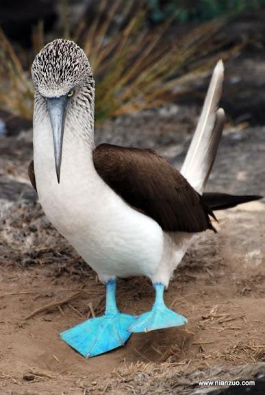 可爱的动物 蓝色的大脚!