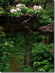 peonia arborea