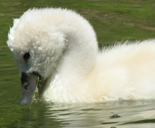 Toronto Island baby swan