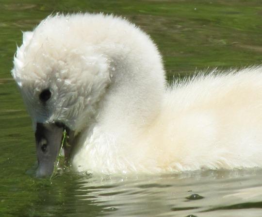 Toronto Island baby swan