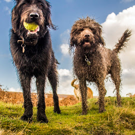 Monty and Jazz the Labradoodles by Colin Waite - Animals - Dogs Portraits ( dog dogs ball sky clouds labradoodle doodle grass stone )