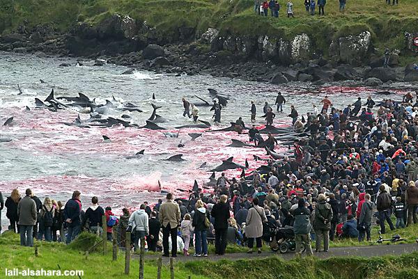 Golfinhos Calderon massacrados todos os anos