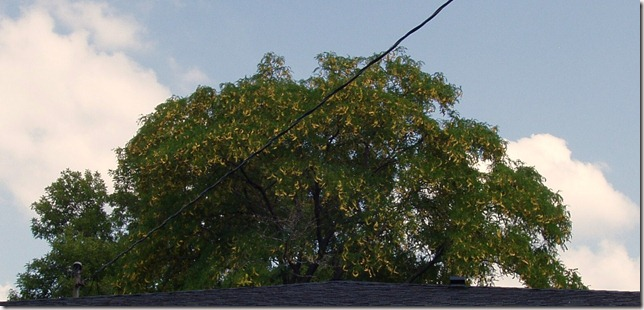 honey locust bean tree