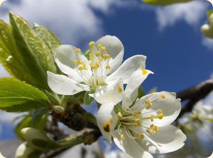 Blommeblomster
