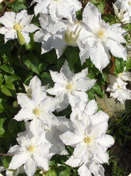 Clematis i fuld flor