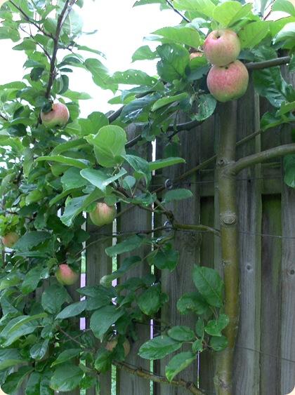 Æbler - arten ukendt...