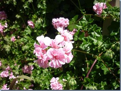 pinkgeranium2