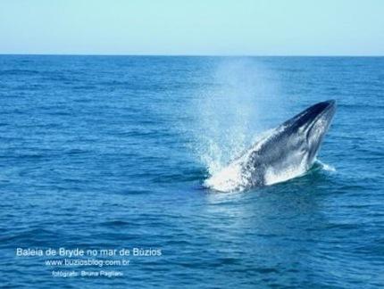 Foto 1 Baleia de Bryde, emergindo do lado de nosso barco.