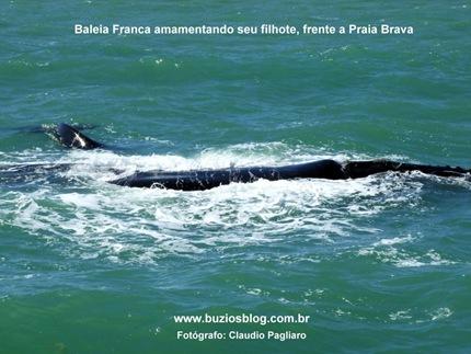 Foto 7 Baleia franca amamentando seu filhote, frente a Praia Brava