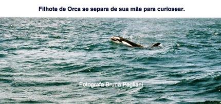 Foto 9 Orca e filhote, o maior dos golfinhos.