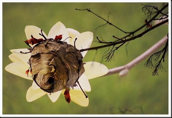 Magnolia Hornets Nest