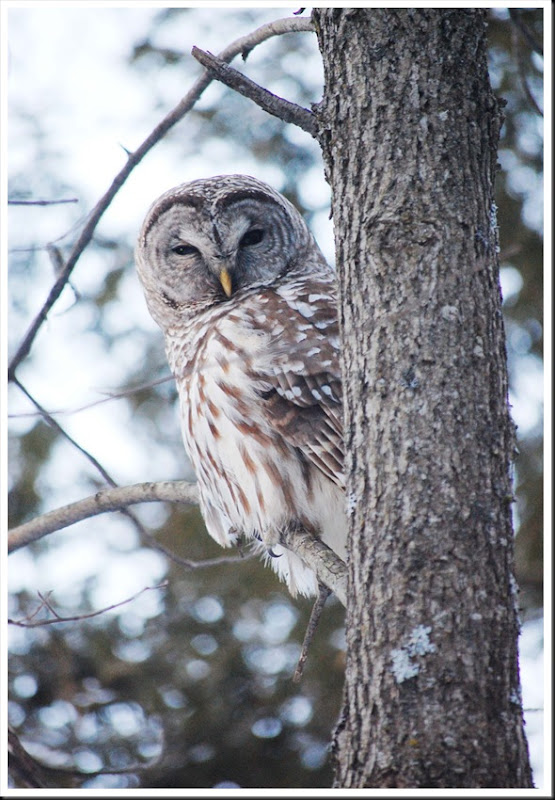 barred owl5