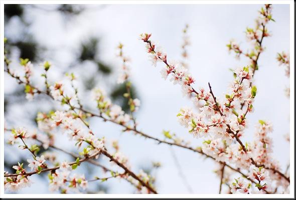 blossoms pine bokeh