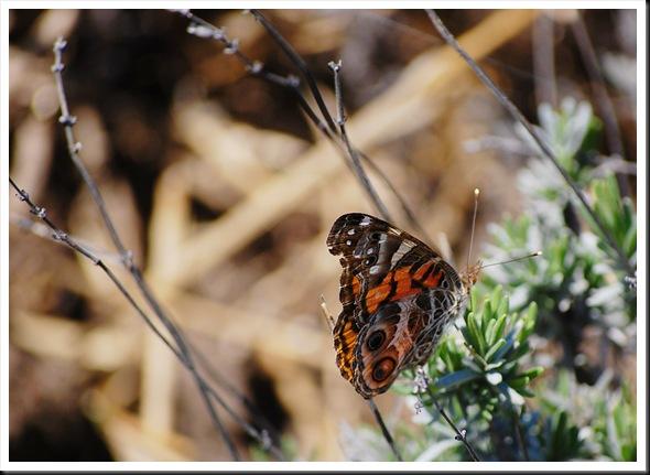 orange butterfly2