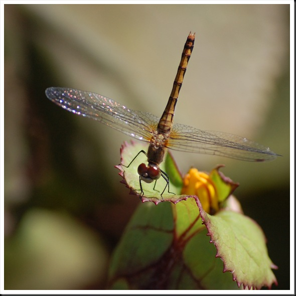 dragonfly square