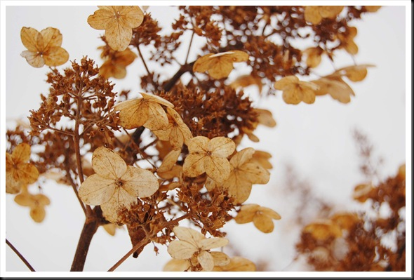 winter hydrangea