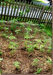 tomatoeplants
