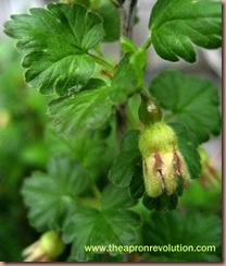 gooseberrybud